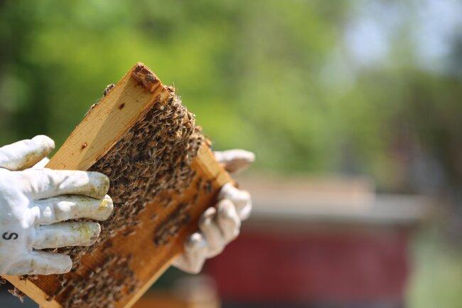 apicoltore tiene telaino con miele e api tra le mani